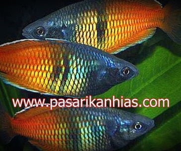 Ikan hias air tawar rainbowfish