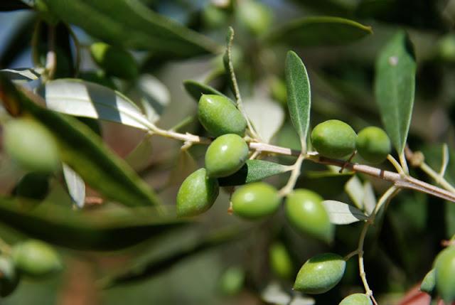 Αρχές Σεπτεμβρίου ξεκινά η συλλογή της πράσινης ελιάς από τη Στυλίδα