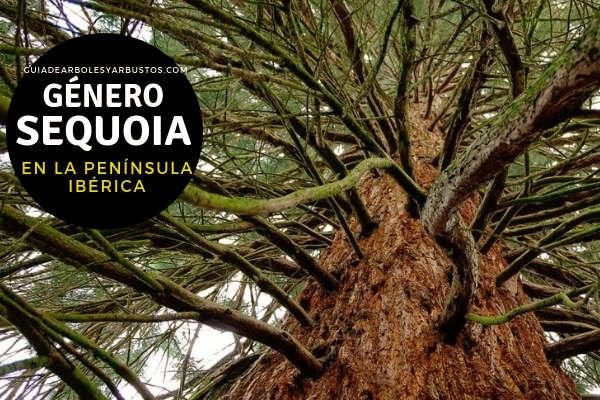 El género Sequoia arboles siempre verdes de la Familia Taxodiaceae.