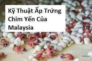 Công nghệ ấp nở trứng chim yến của malaysia và indonesia.