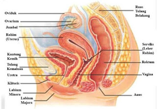 Anatomi dan Fungsi Bagian-Bagian Organ Alat Kelamin Wanita Dalam Sistem Reproduksi Pada Manusia
