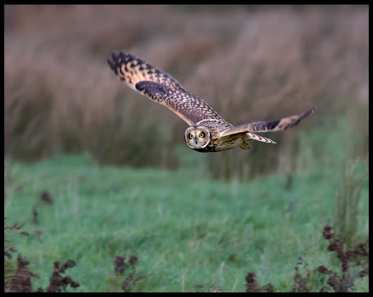 Short Eared Owls RGW 6/12/2015