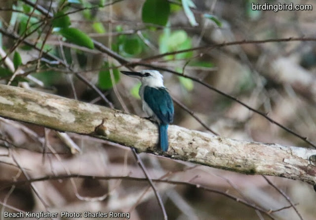 Beach Kingfisher in Waigeo island photo by Charles Rorong