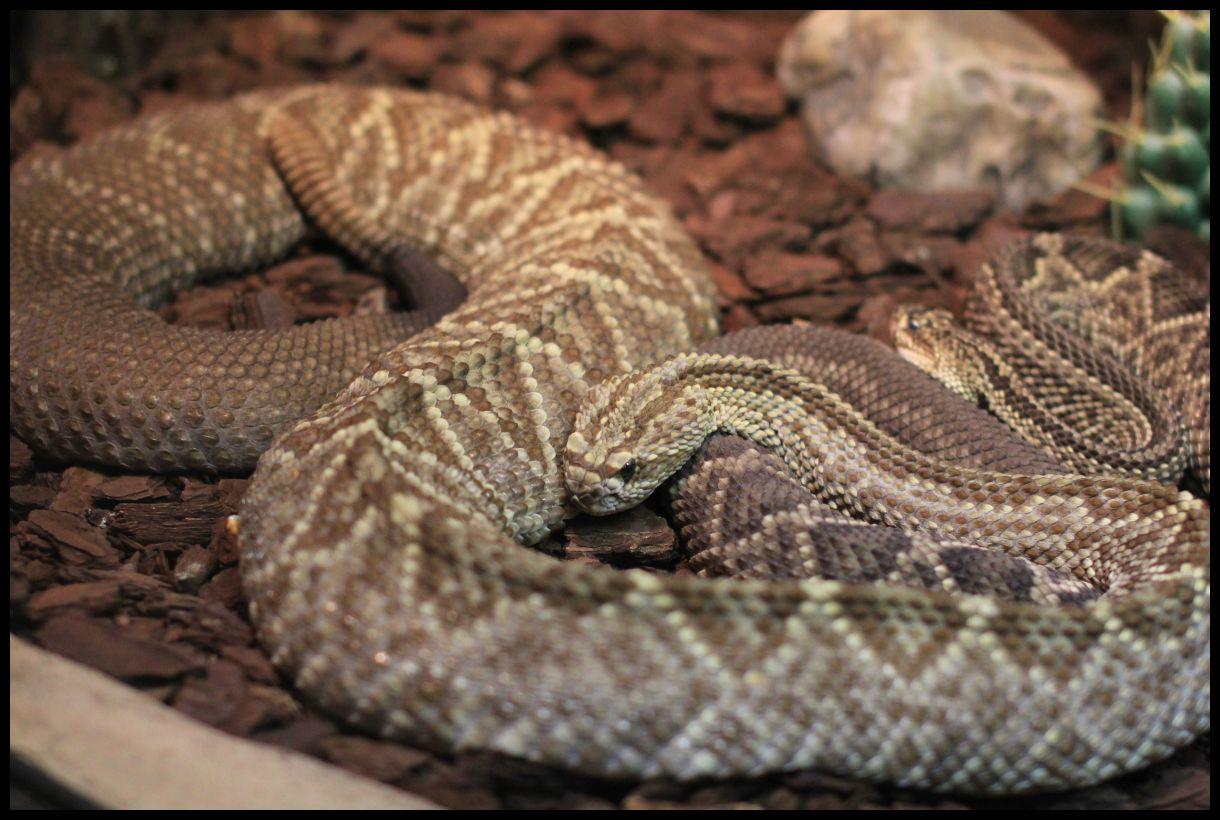 Maitokäärme