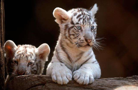Cute Puppies Wallpapers With Quotes Beautiful White Tiger Cubs Wallpaper Wallpaper Amp Pictures