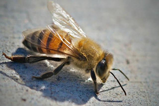abelha africanizada