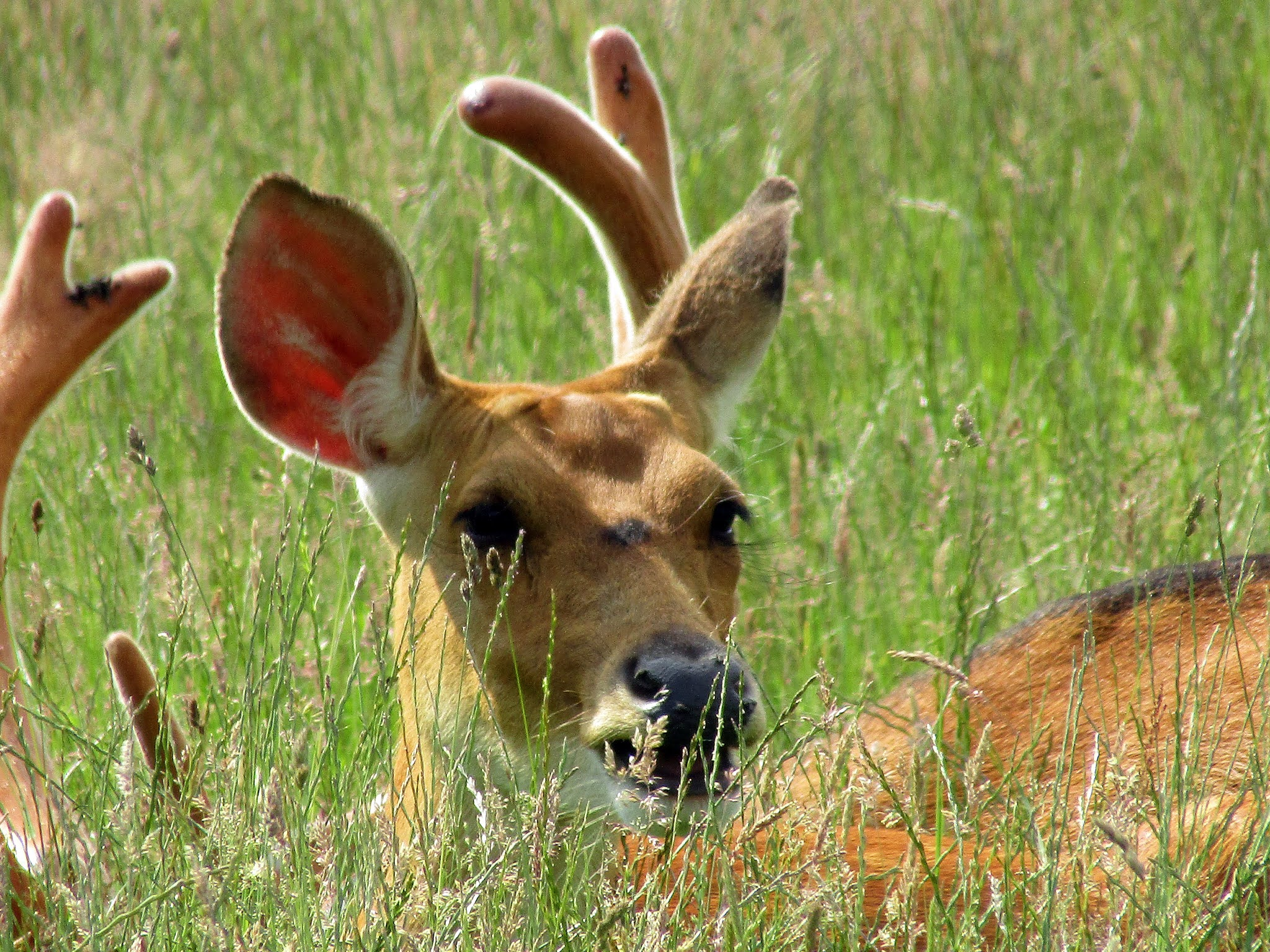 A photo of a doe at Whipsnade Zoo.