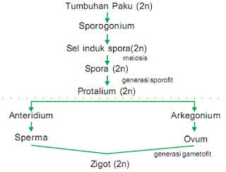 reproduksi tumbuhan paku (metagenesis)