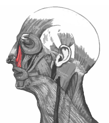 Músculo elevador del labio superior y del ala de la nariz