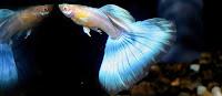 Gambar ikan guppy blue japan terbaru