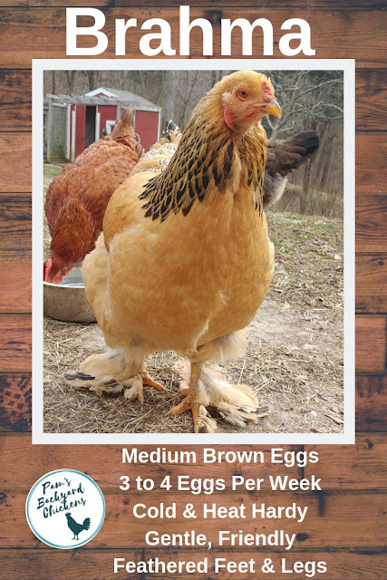 Brahmas are beautiful chickens with feathered feet and legs and a gentle personality that fits the needs of a family flock.