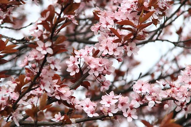 cerisier du Japon Kaisen