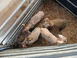 Orphan lambs HenSafe smallholding