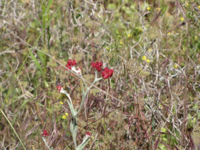 פרח דם המכבים