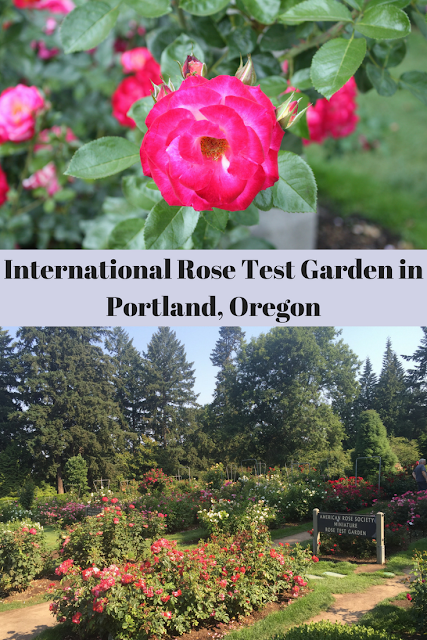 Exploring the International Rose Test Garden in Portland, Oregon enjoying thousands of blooms and beautiful scents.