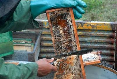 extraccion de miel de abeja 1 - Apicultores espirituanos recuperan el 86 por ciento de las colmenas afectadas por Irma - El Apicultor Español: Actitud y Aptitud