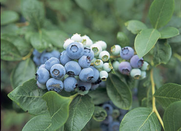 RHS photo of our blueberry variety - A Stubborn Optimist Blog - C Gault 2019