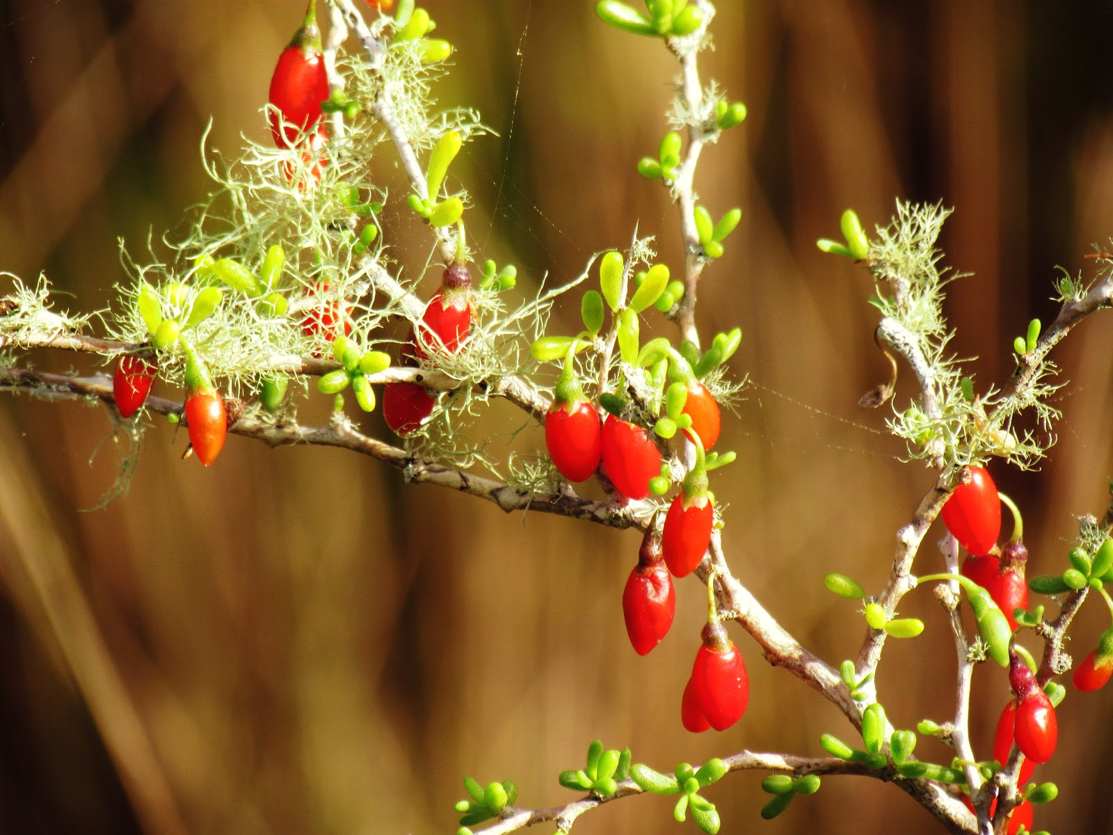 Red berries growing naturally in Florida on the hiking trails in Hammock Park in Dunedin, Florida