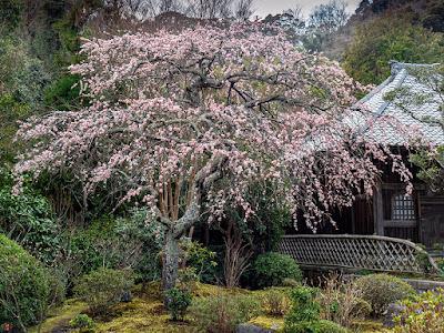 Ume (Japanese apricot) flowers: Kaizo-ji
