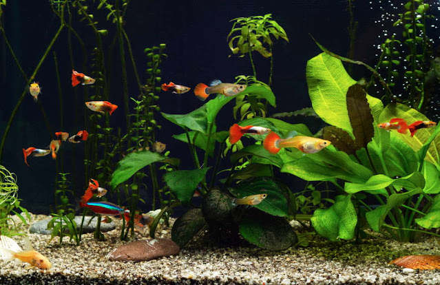 Guppy Fish Care Guide and Breeding