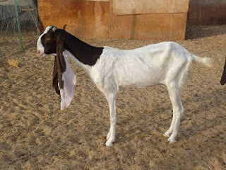 Hejazi Goat Origin, Milk, Weight, Size, Facts, Breed, Price