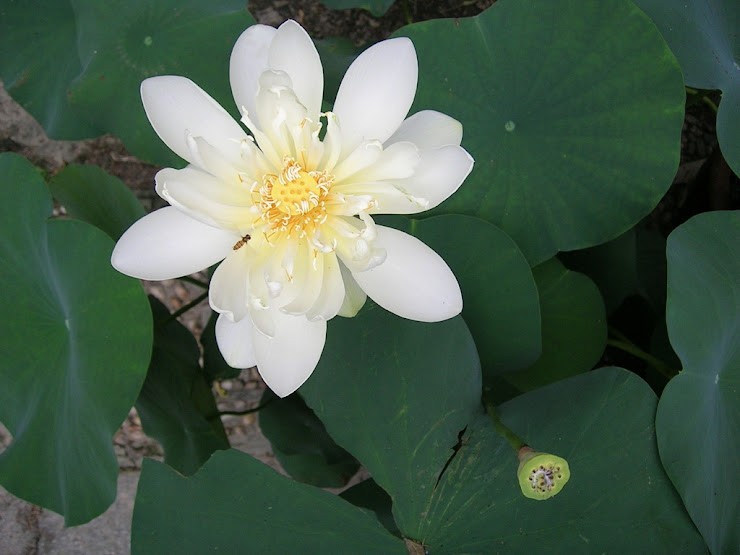 蓮池に咲く花