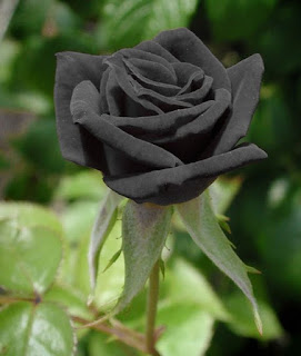the black rosa of turkey