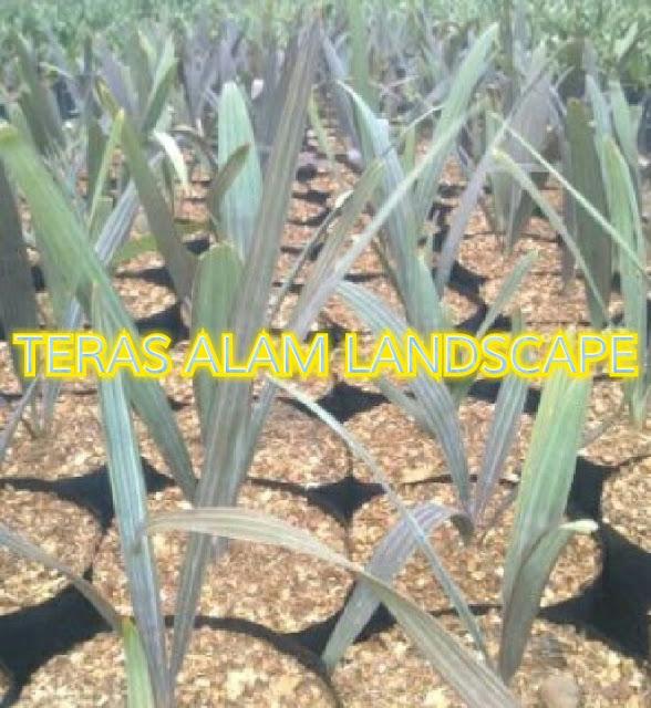 bibit pohon palm bismarkia silver