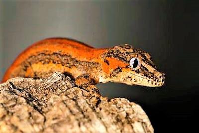 Gecko gargola