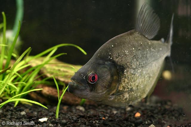 Piranha Serrasalmus Rhombeus