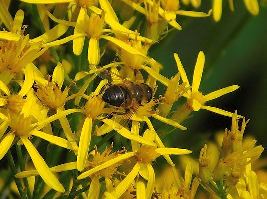 Omieg górski (Doronicum austriacum Jacq.) i pracujący na nim owad.