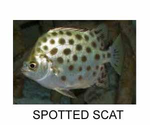 spotted scat-buttterfish-Chitra chandi- Paira Chanda, Bheja touri -Nachara