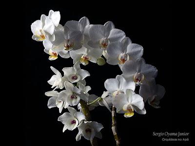 Orquídeas Dendrobium e Phalaenopsis híbridas