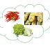 Một số rau củ quả trong tiếng Thái ชิกโครี