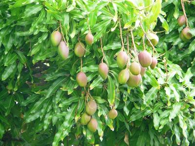 Grappes de mangues