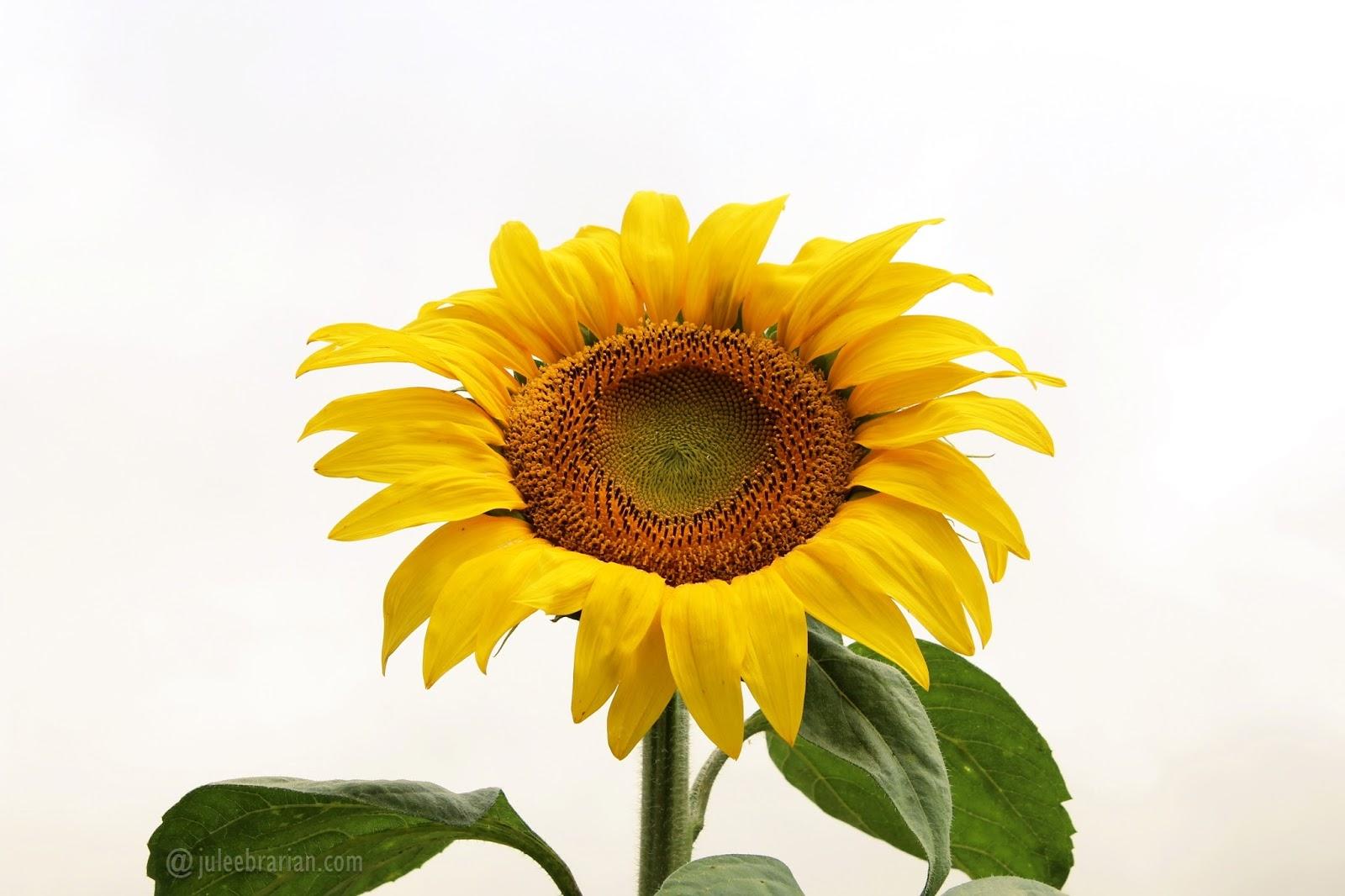 Gambar Bunga Matahari Hitam Putih Pickini