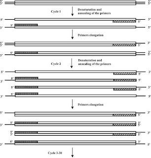 PCR reaction diagram