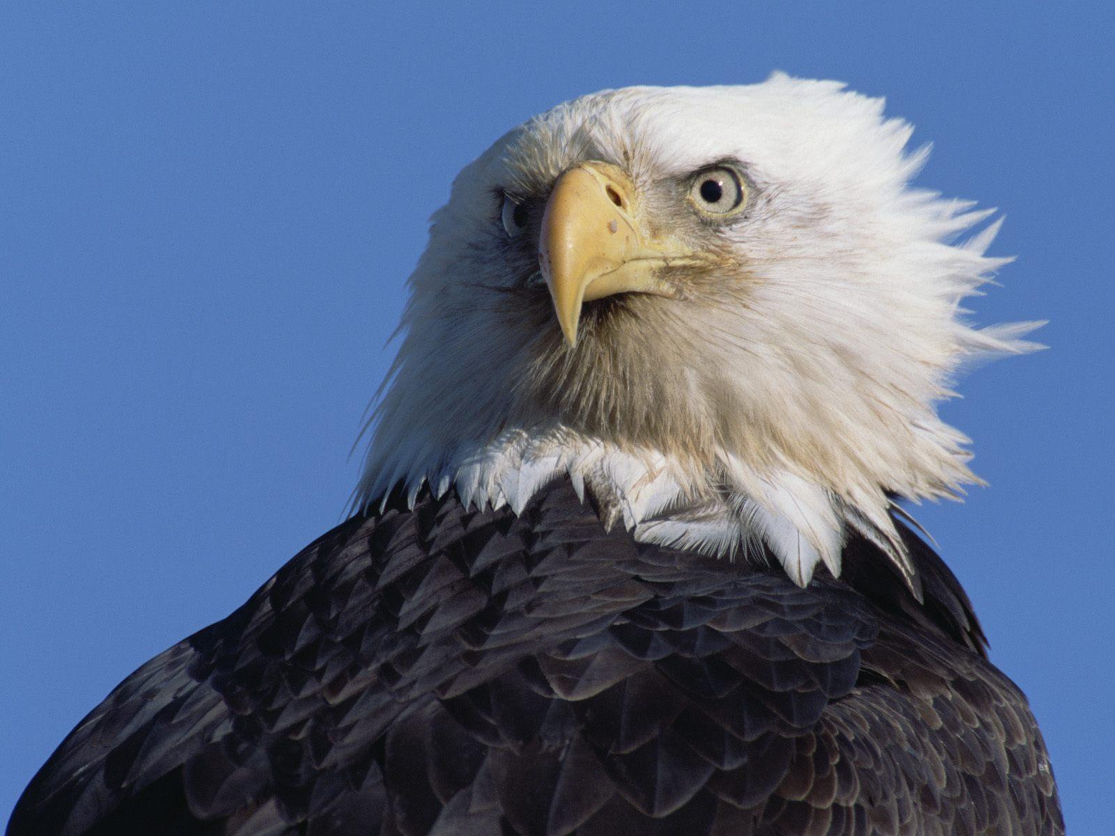 Bald Eagle Wallpapers | Animal Literature