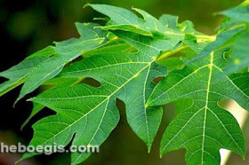 Benefits of Pawpaw Leaf Efficacy for Body Health