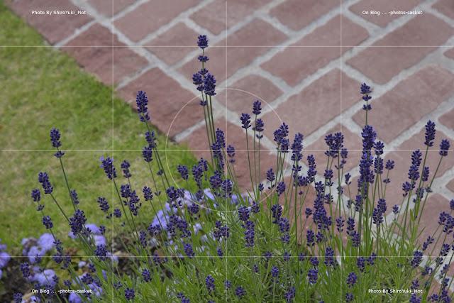 花 ラベンダー Royal Garden Blues Louis Armstrong