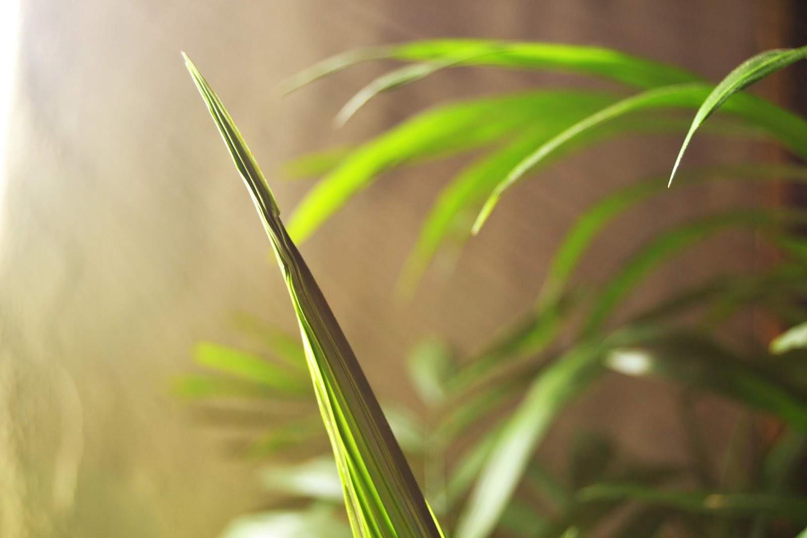Palmera de salón, una planta purificadora de aire