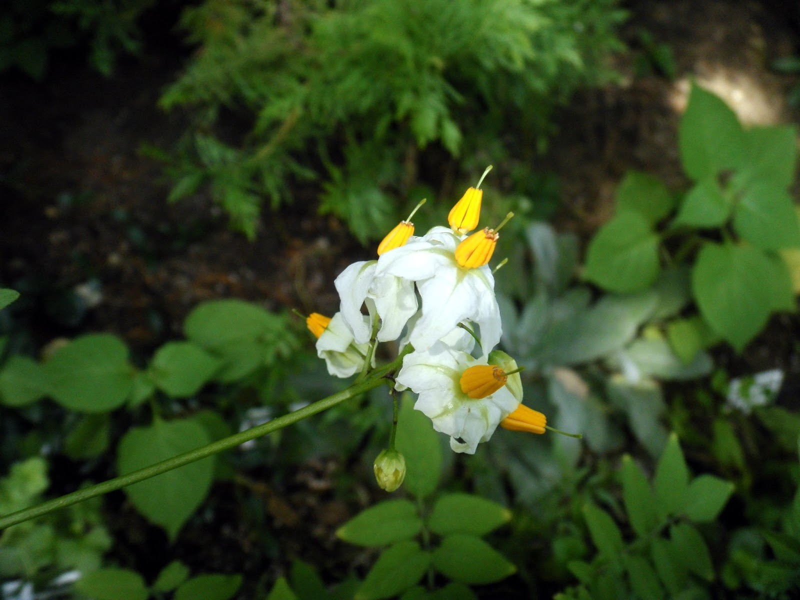 Scirpidiellas plants wild potatoes solanum sect petota can be hybridized with other potatoes very ornamental plant flowers showy white with yellow center leaves glossy lovely mightylinksfo