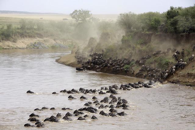 Ñus en la gran migración del Masái Mara, Kenia