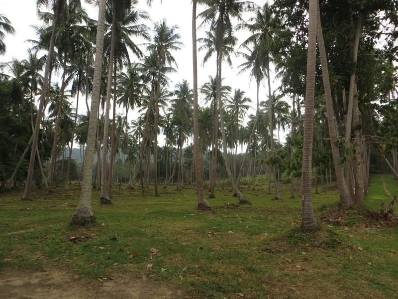 Кокосовые пальмы на Самуи, Таиланд