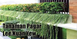 Tanaman Pagar Lee Kuan Yew