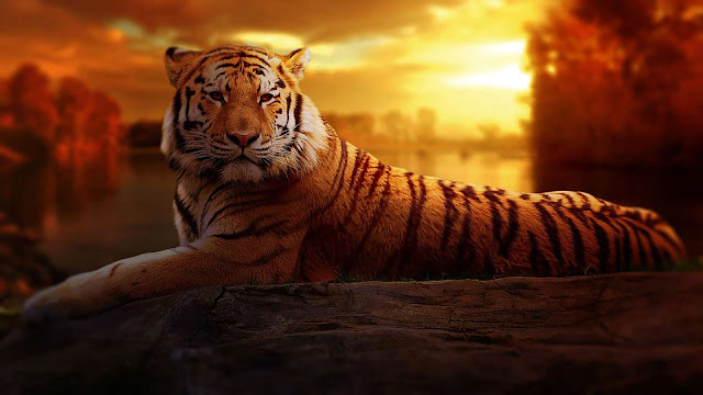 Papel de parede grátis Animal Tigre Siberiano para PC, Notebook, iPhone, Android e Tablet.