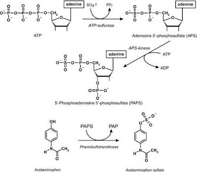 Formation of 5′-phosphoadenosine 3′-phosphosulfate