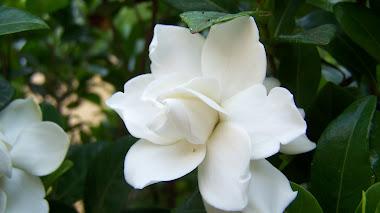 Tiempo de gardenias