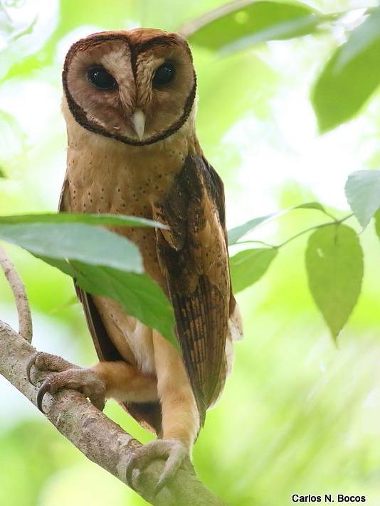 93 Koleksi Gambar Burung Hantu Tanpa Warna Gratis Terbaru