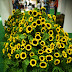 Wordless Wednesday : Kebun Matahari